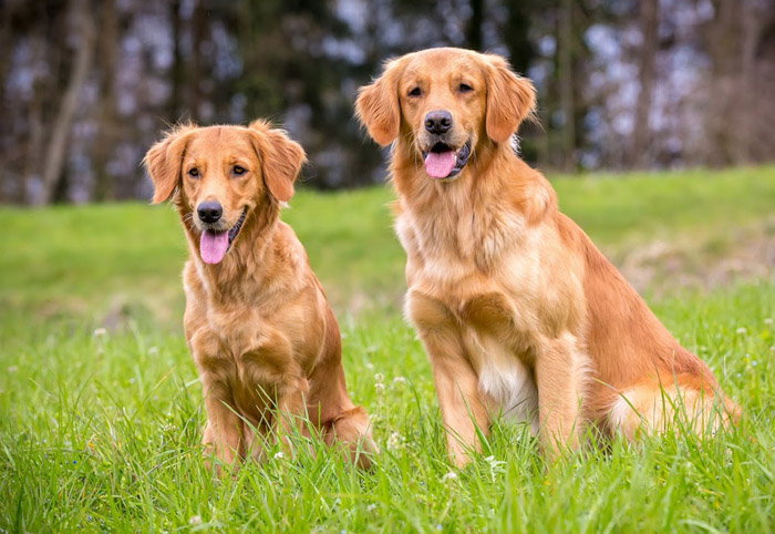 golden retriever danmark